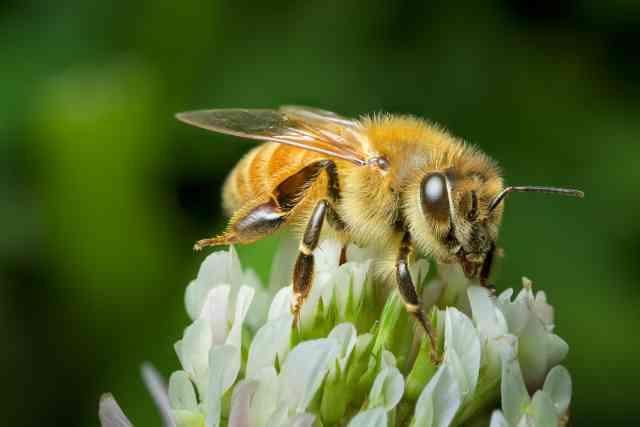 honey bee manuka honey